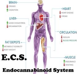 Your Endocannabinioid System: Proof that Marijuana is Medicine