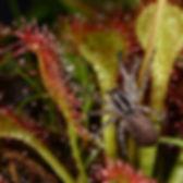 Spider on sundew website.jpg
