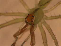 Lyssomanes viridis website.jpg