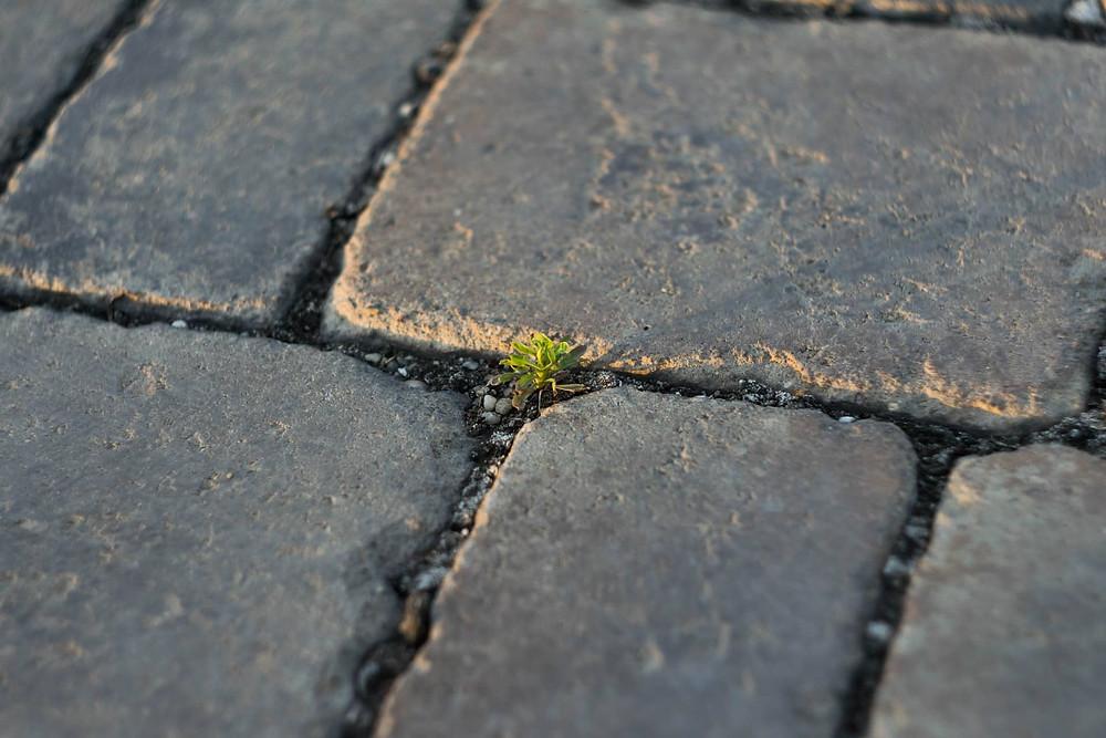 Plant growing through sidewalk