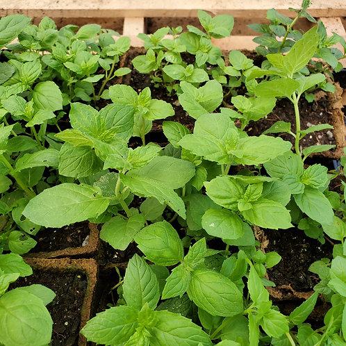Mint, Peppermint (Mentha piperita)