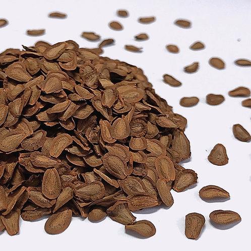 Milkweed, Common (Asclepias syriaca)