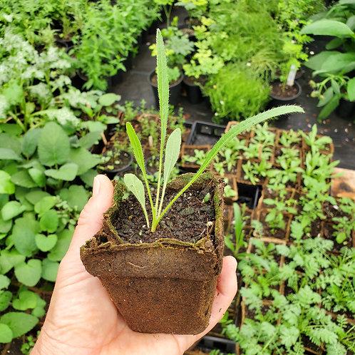Echinacea, Tennessee (Echinacea tennesseensis)