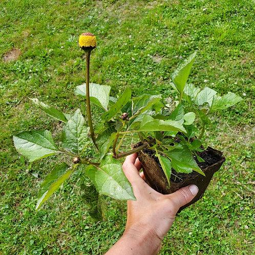 Spilanthes (Acmella oleracea)
