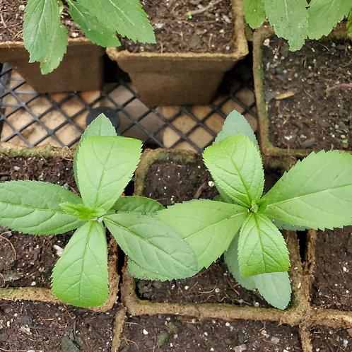 Culver's Root (Veronicastrum virginicum)