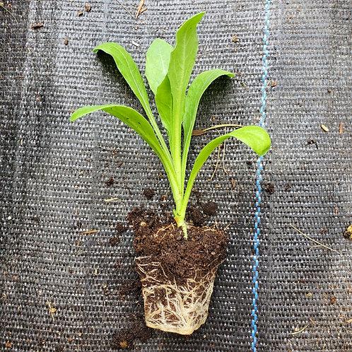 Calendula, Solis Sponsa (Calendula officinalis)