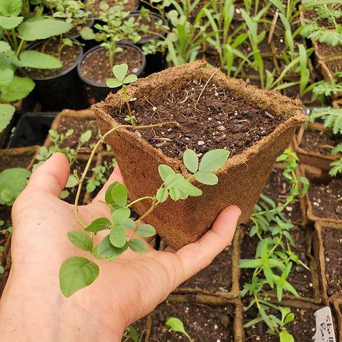 Licorice, Chinese (Glycyrrhiza uralensis)