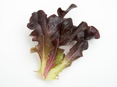 Seedling - Red Oakleaf Lettuce