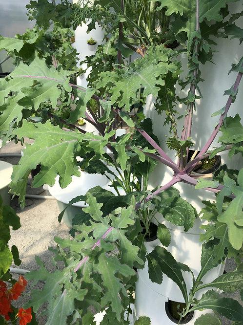 Seedling - Red Russian/Winter Kale