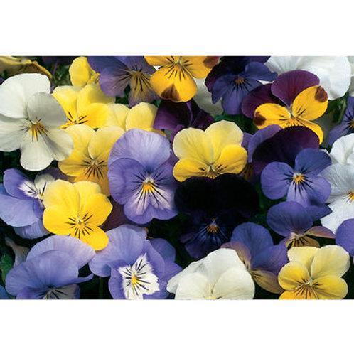 Seedling - Sorbet Viola (edible flowers)