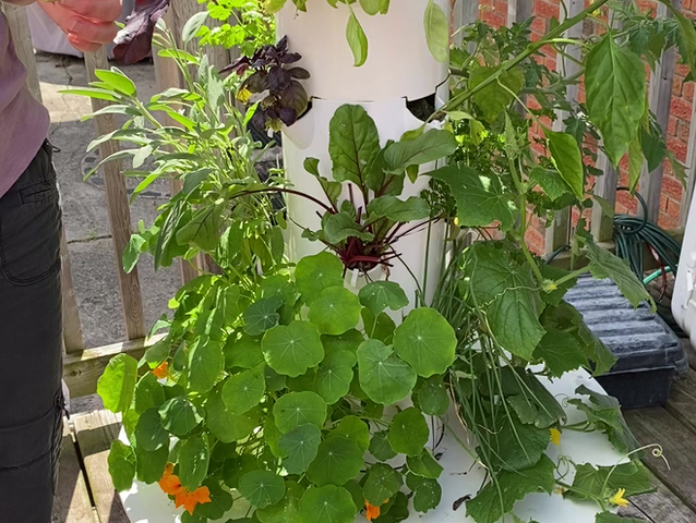 Growing and Harvesting Beets in your Tower Garden!