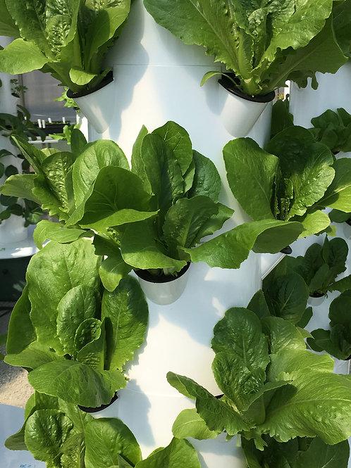 Seedling - Romaine Lettuce