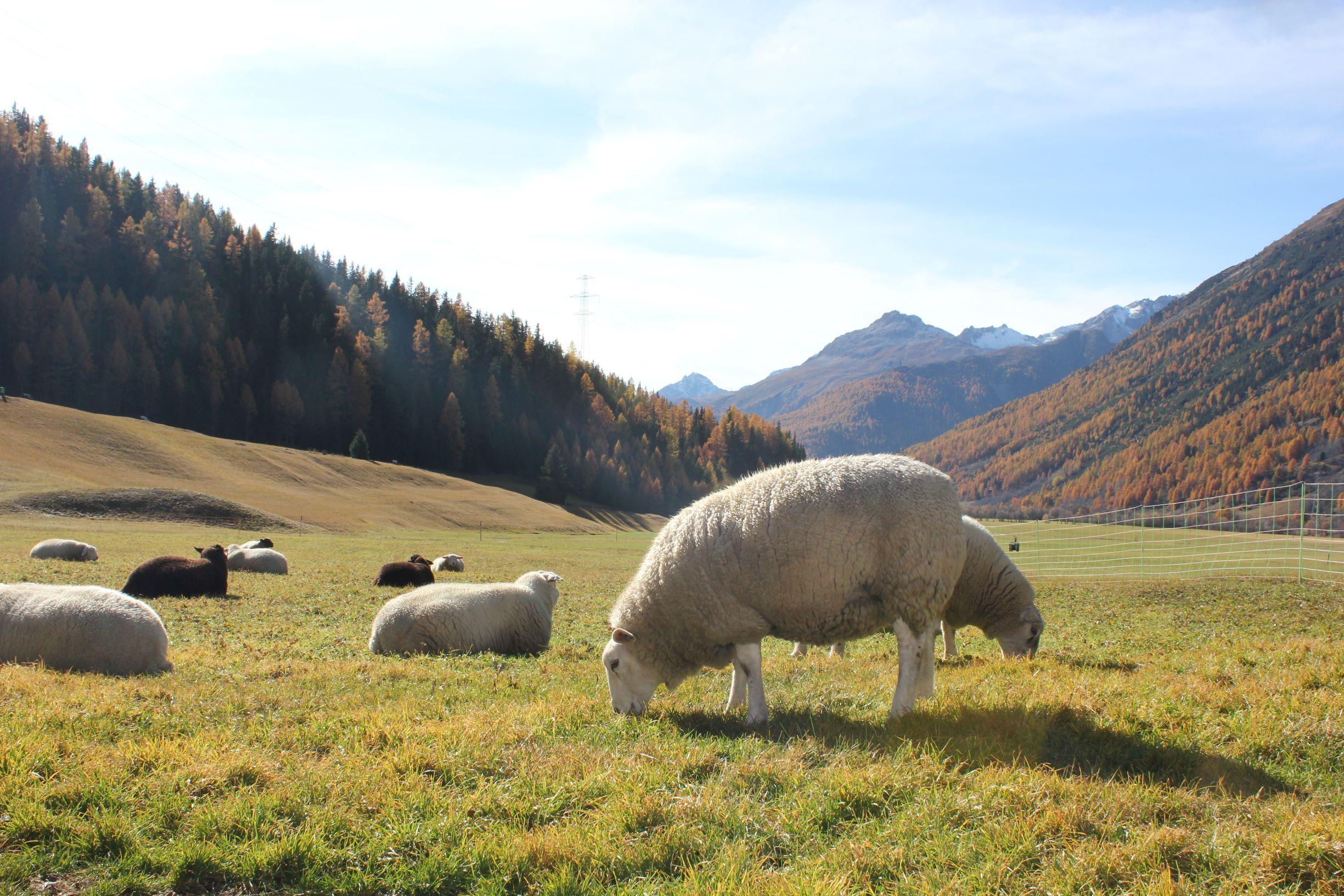 Schafe auf der Herbstweide