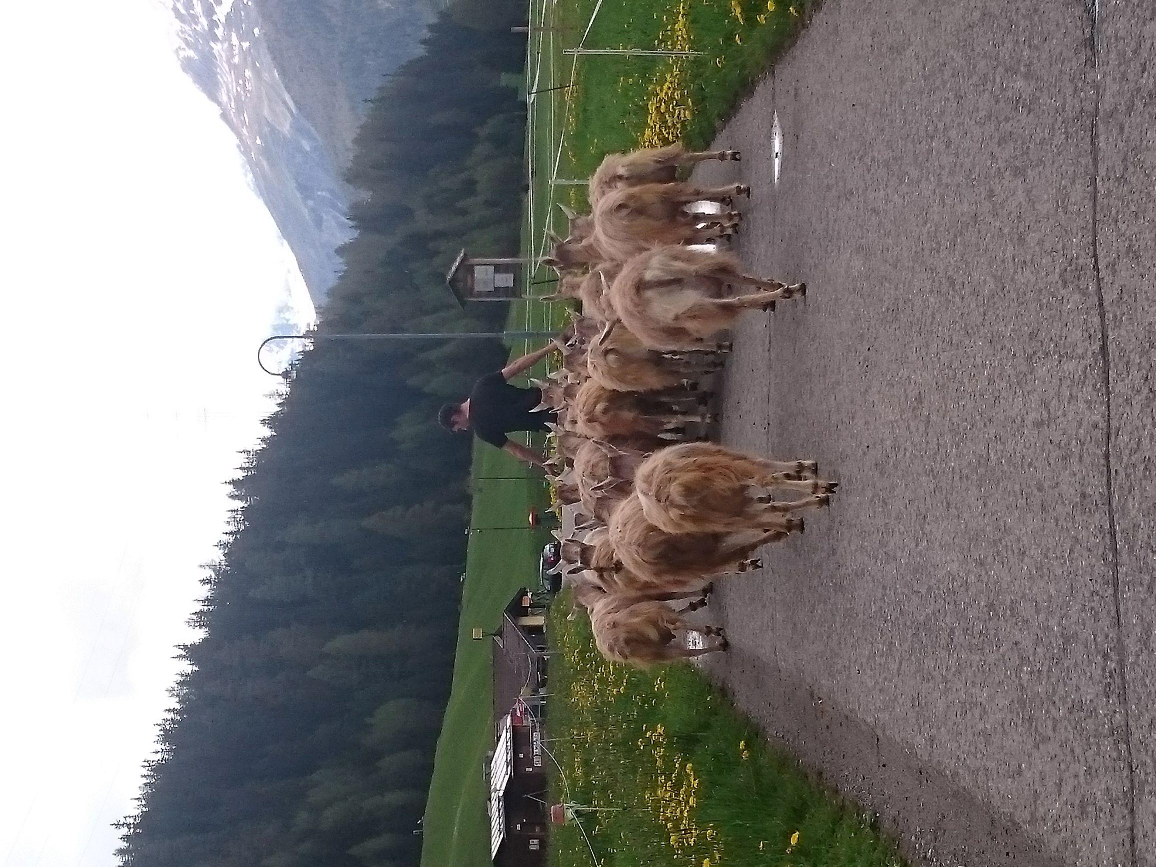 Cesi mit den Ziegen unterwegs