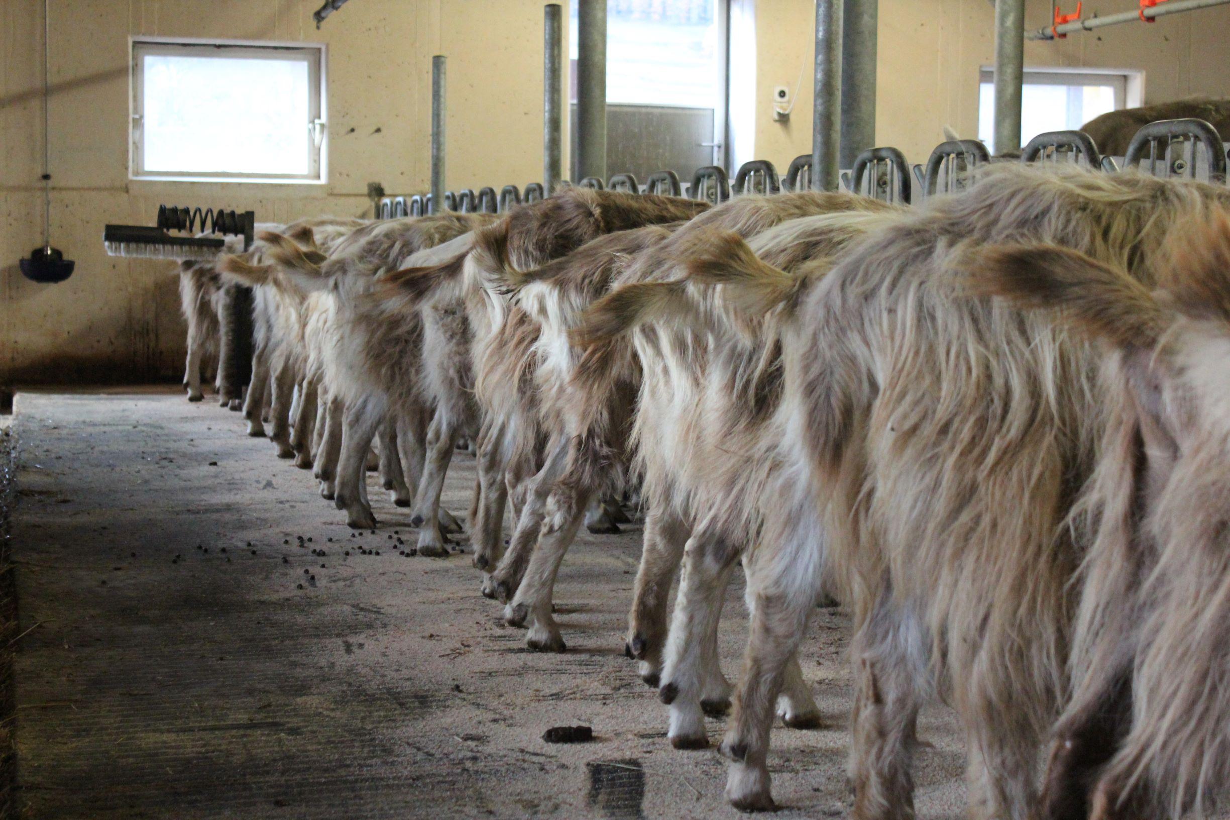 Milchziegen bereit zum melken