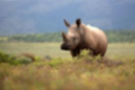 A white rhino _ rhinoceros grazing in an open field in South Africa.jpg