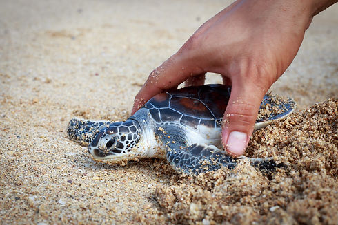 turtle conservation in thailand .jpg