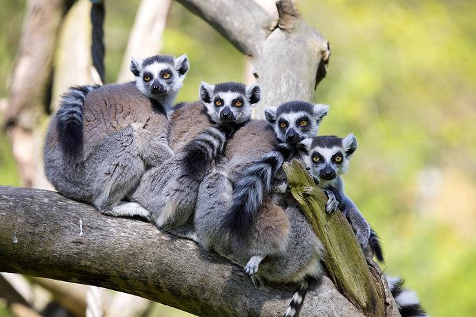 madagascar wild life_ ring tailed lemur.jpg