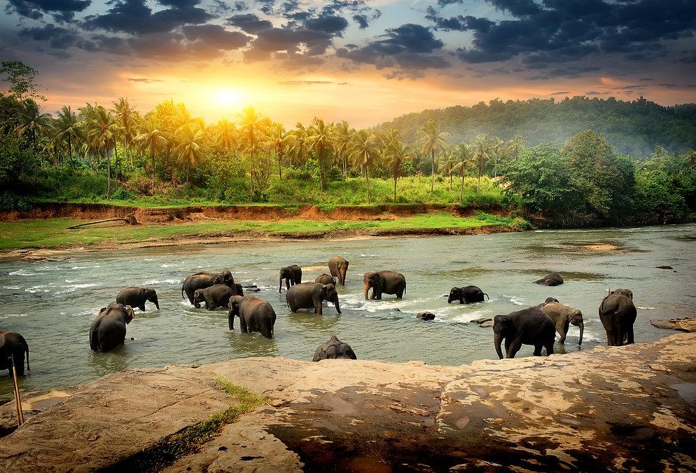Herd of elephants bathing in the jungle river of Sri Lanka.jpg