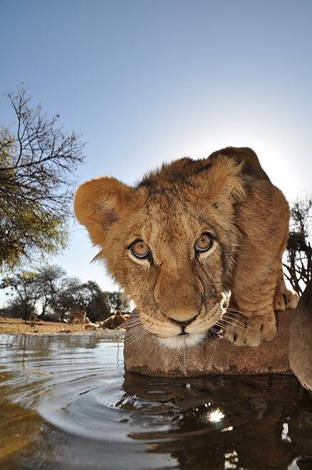 Lions in south africa.jpg