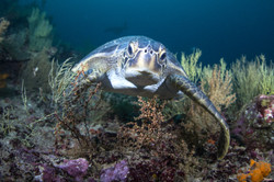 curious turtle. Galapagos.