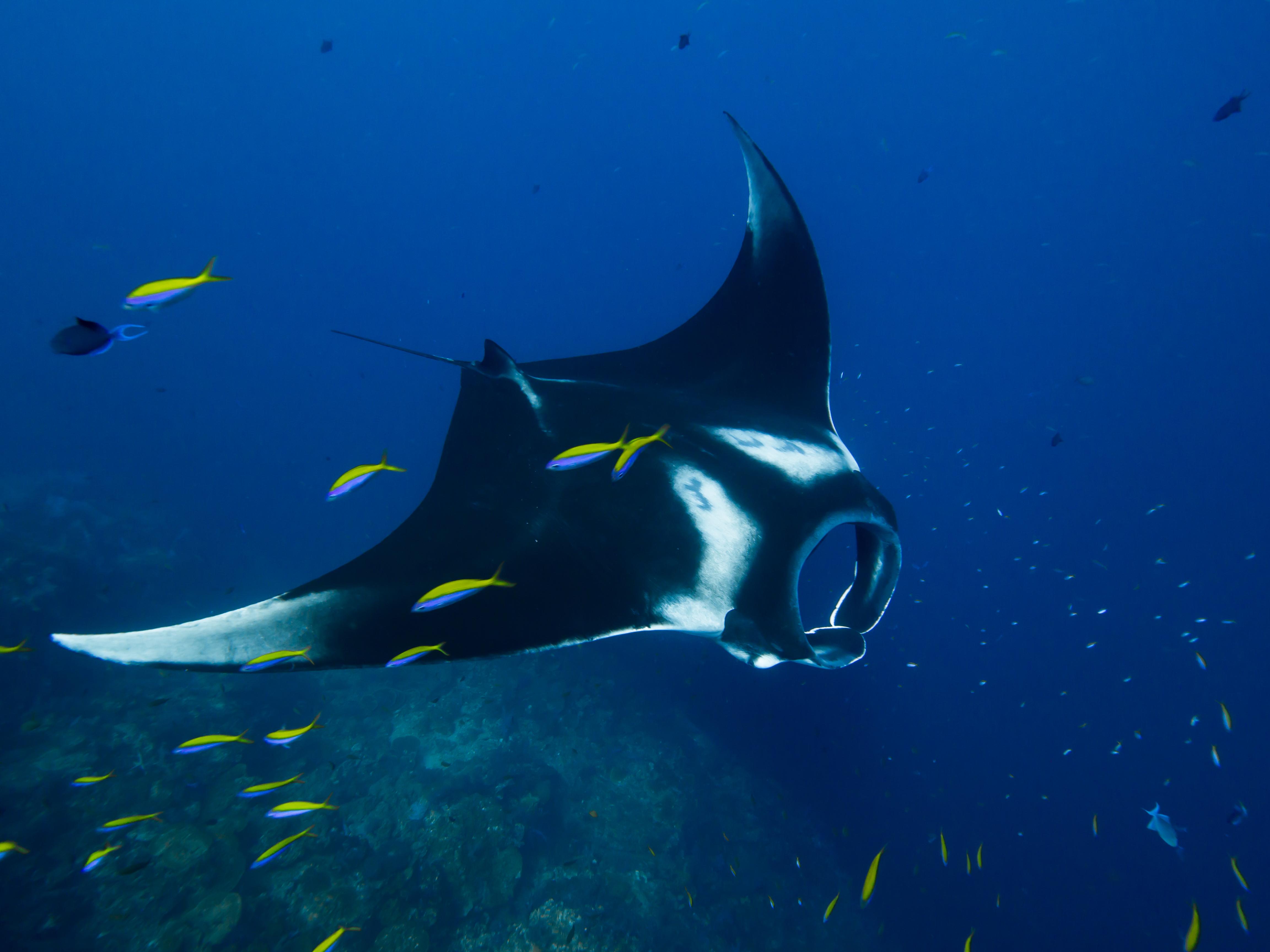 manta ray. maldives.