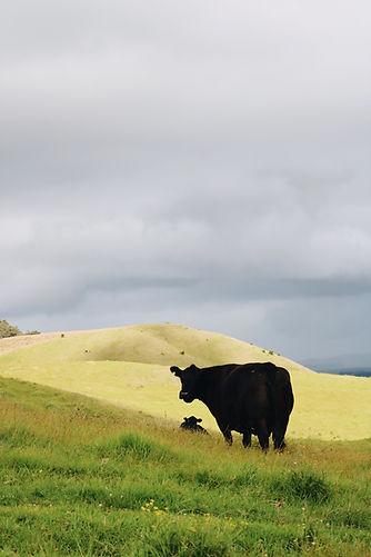 Waimea Cow