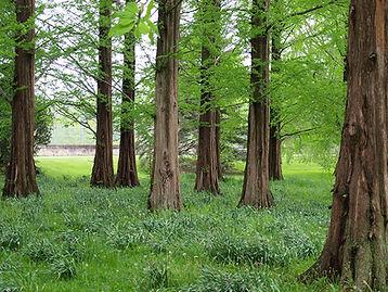 redwoods2---web.jpg