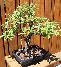 bonsai--web.jpg