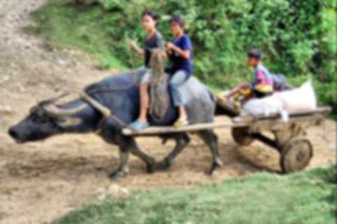 carabao pulling a cart in Sibaltan