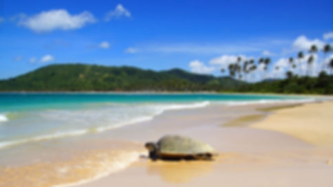 Sea turtle on Nacpan beach. El Nido.jpg