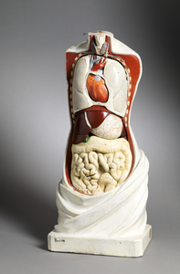 Plaster anatomical model by Steger and Bock, 19th century, Spectandum collection