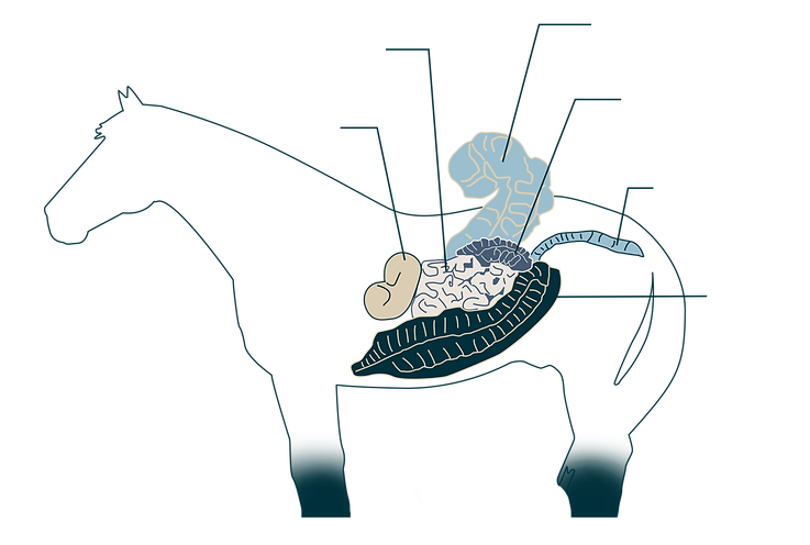 appareil-digestif-cheval-with-line.png