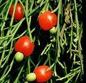 Cherry%20Ballart_edited.jpg