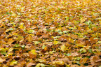 Bridgeport, CT   Best Fall Yard Cleanup   Leaf Removal Near Me