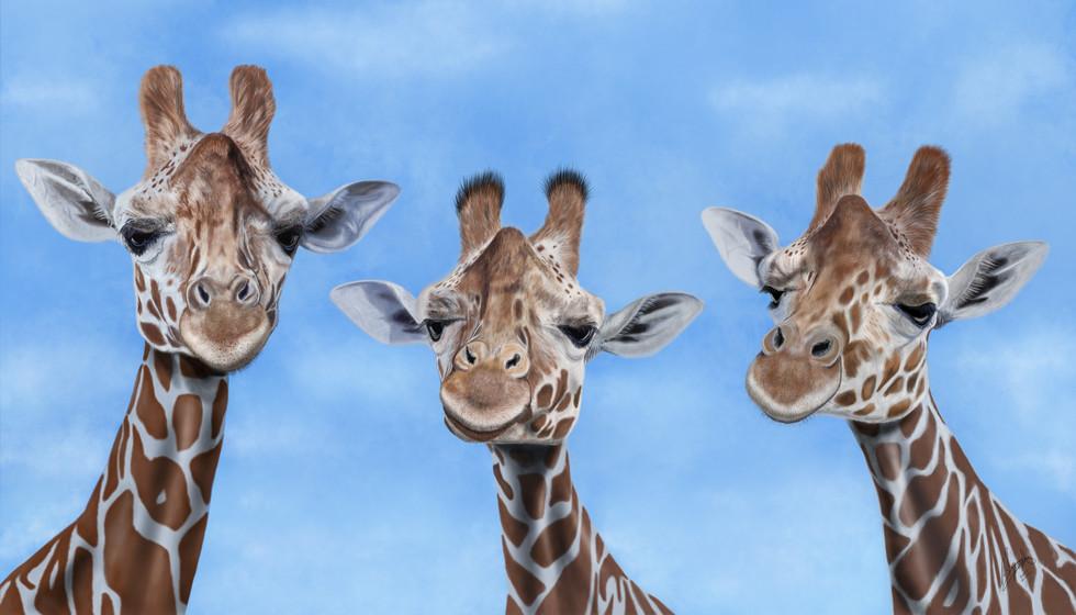 Trio of Giraffes
