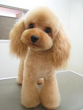 Japanese Style Poodle