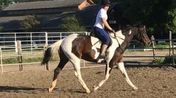 """Artemis w/5'7"""" rider"""