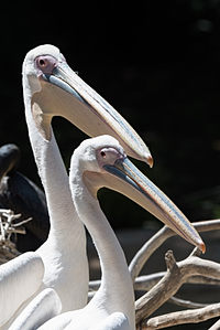 African White Pelicans