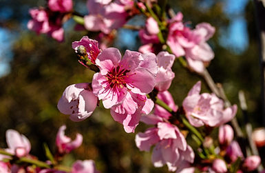 Dwarf White Peach Blossoms