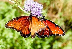 Queen Buterflies