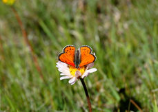 Lustrous Copper Butterfly
