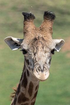 Ugandan Giraffe