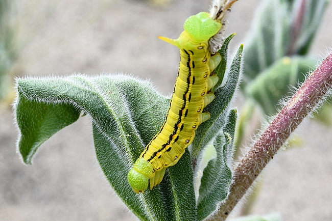 Caterpiller - White Lined Spinx Moth
