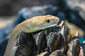 Baja California Rat Snake