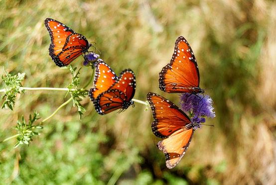 Queen Butterflies