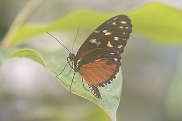 Cream Spotted Tigerwing