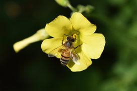 European Honeybee