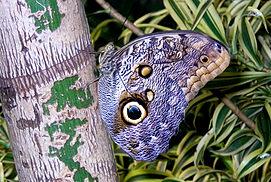 Owl Buttertfly