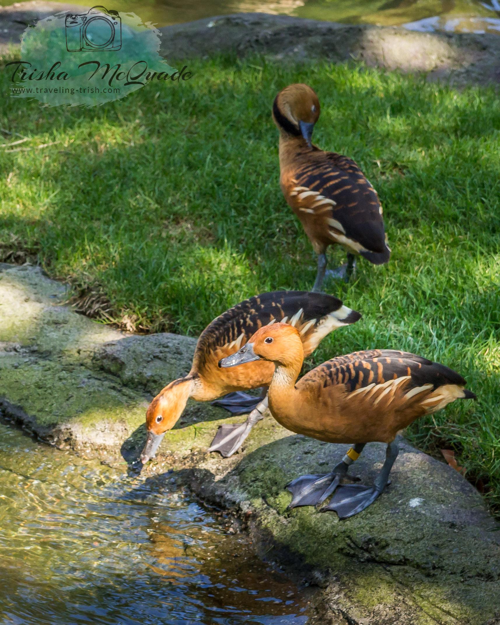 Thirsty Ducks